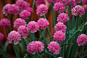 PETTIFERS GARDEN  OXFORDSHIRE: CHIVES - ALLIUM SCHOENOPRASUM PINK PERFECTION