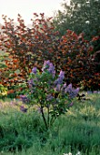PETTIFERS GARDEN  OXFORDSHIRE: THE MEADOW WITH CORYLUS RED ZELLERNUT AND SYRINGA MADAME ANTOINE BUCHNER