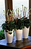 HOUSEPLANTS IN WHITE CERAMIC POTS ON A WINDOWSILL  BY THE FLOWERBOX - PEPEROMIA