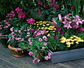 DESIGNER CLARE MATTHEWS: PINK AND YELLOW THEMED CONTAINER PLANTING ON DECKING: VERBENA  DIANTHUS  OSTEOSPERMUM  PHYGELIUS  GERANIUM AND LILIES
