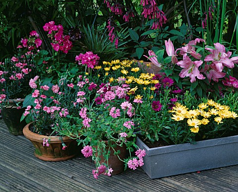 DESIGNER_CLARE_MATTHEWS_PINK_AND_YELLOW_THEMED_CONTAINER_PLANTING_ON_DECKING_VERBENA__DIANTHUS__OSTE