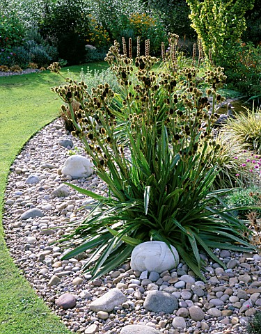 ERYNGIUM_AGAVIFOLIUM_IN_PEBBLE_AND_GRAVEL_BORDER_DESIGNER_JOHN_MASSEY