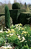 YEW TOPIARY HEDGES SURROUNDING WHITE TULIP BORDERS  ST MICHAELS HOUSE  KENT: JUNIPERUS SKYROCKET AND TULIPS SPRING GREEN AND MOUNT TACOMA