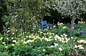 BLUE PAINTED BENCH IN WHITE TULIP BORDER AT ST. MICHAELS HOUSE  KENT: PYRUS SALICIFOLIA PENDULA  TULIP SPRING GREEN AND TULIP MOUNT TACOMA