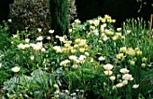 WHITE TULIP BORDER  AT ST. MICHAELS HOUSE  KENT: TULIP SPRING GREEN AND MOUNT TACOMA