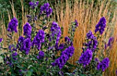 PETTIFERS GARDEN  OXFORDSHIRE: ACONITUM CARMICHAELII ARENDSII IN FRONT OF CALAMAGROSTIS X ACUTIFLORA KARL FOERSTER