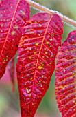 LADY FARM  SOMERSET: CLOSE UP OF RHUS TYPHINA LACINIATA  IN AUTUMN