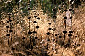 LADY FARM  SOMERSET  IN AUTUMN: COBWEBS  PHLOMIS RUSSELIANA AND DESCHAMPSIA CESPITOSA GOLDTAU IN EARLY MORNING LIGHT