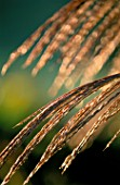 LADY FARM  SOMERSET  IN AUTUMN: BACKLIGHT ON MISCANTHUS