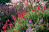 PENSTEMON WITH AGASTACHE RUGOSA HYBRID  MARCHANTS HARDY PLANTS  SUSSEX