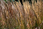 GRASSES SWAYING IN THE BREEZE. GOODNESTONE PARK  KENT
