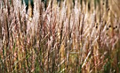 MISCANTHUS GRASS SWAYING IN THE BREEZE. GOODNESTONE PARK  KENT