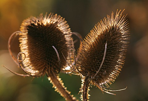 CLOSE_UP_OF_COMMON_TEASEL_IN_WINTER__DIPSACUS_FULLONUM_TEASLE