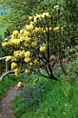 RHODODENDRON HOTEI BESIDE A PATH DUNGE VALLEY HIDDEN GARDENS  CHESHIRE