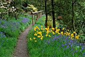 DAFFODILS AND BLUEBELLS BESIDE A PATH DUNGE VALLEY HIDDEN GARDENS  CHESHIRE