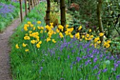 DUNGE VALLEY HIDDEN GARDENS  CHESHIRE: DAFFODILS AND BLUEBELLS BESIDE A PATH