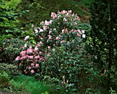 DUNGE VALLEY HIDDEN GARDENS  CHESHIRE: PINK RHODODENDRONS IN THE WOODLAND