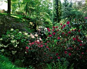DUNGE VALLEY HIDDEN GARDENS  CHESHIRE: RHODODENDRONS IN THE WOODLAND