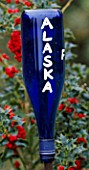 HIGHFIELD HOLLIES  HAMPSHIRE: BLUE GLASS BOTTLE ON A STICK USED AS A LABEL FOR ILEX ALASKA