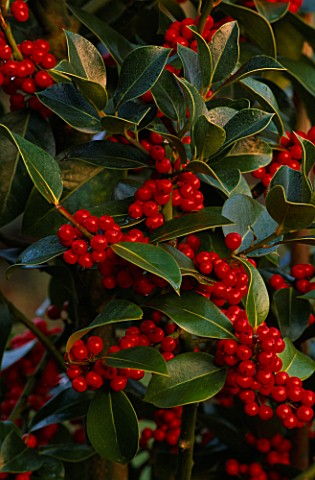HIGHFIELD_HOLLIES__HAMPSHIRE_ILEX_X_ALTACLERENSIS_CAMELLIIFOLIA