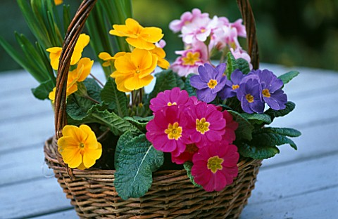 DIFFERENT_COLOUR_POLYANTHUS_IN_SMALL_WICKER_BASKET