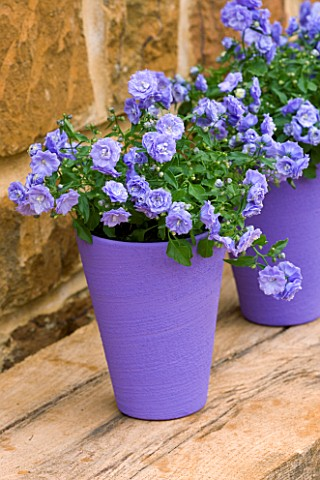 PURPLE_TERRACOTTA_CONTAINER_PLANTED_WITH_CAMPANULA_BALI