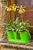 WINDOW BOX . GREEN METAL CONTAINERS IN TRAY PLANTED WITH PRIMULA VERIS ( COWSLIPS). DESIGNER: CLIVE NICHOLS