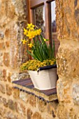 WHITE METAL BUCKET USED AS A WINDOWBOX PLANTED WITH THYME AND NARCISSUS TETE-A TETE. MARCH. DESIGNER: CLARE MATTHEWS