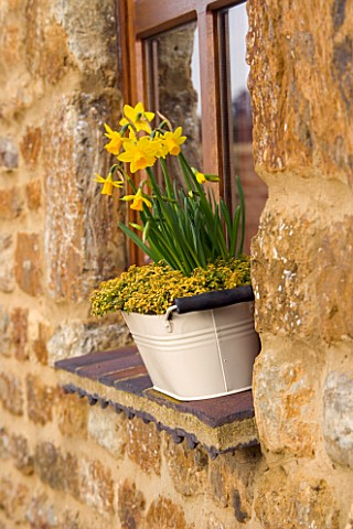 WHITE_METAL_BUCKET_USED_AS_A_WINDOWBOX_PLANTED_WITH_THYME_AND_NARCISSUS_TETEA_TETE_MARCH_DESIGNER_CL