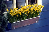 METAL WINDOW BOX PLANTED WITH NARCISSUS TETE-A-TETE. KEUKENHOF GARDEN  NETHERLANDS