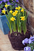 WICKER CONTAINER PLANTED WITH NARCISSUS TETE-A-TETE. SPRING