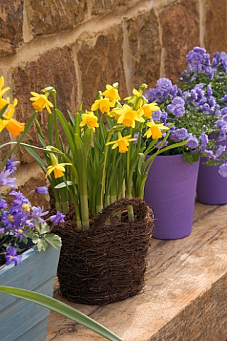 BASKET_CONTAINER_PLANTED_WITH_NARCISSUS_TETEATETE_WITH_CAMPANULA_BALI_IN_BACKGROUND_SPRING