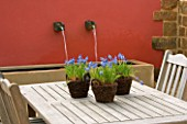 WOODEN TABLE WITH WICKER CONTAINERS PLANTED WITH MUSCARI ARMENIACUM. SPRING