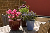 WOODEN TABLE WITH SPRING CONTAINERS: AZALEA JAPONICA MADAME VAN HECKE  LAVANDULA STOECHAS REGAL SPLENDOUR AND CEANOTHUS CENTENNIAL.