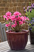 WOODEN TABLE WITH SPRING CONTAINER PLANTED WITH AZALEA JAPONICA MADAME VAN HECKE