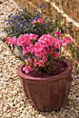 SPRING CONTAINER PLANTED WITH AZALEA JAPONICA MADAME VAN HECKE