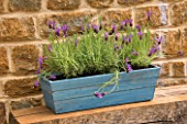 BLUE WOODEN BOX CONTAINER PLANTED WITH LAVANDULA STOECHAS PAPILLON. DESIGNER: CLIVE NICHOLS