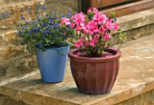 CERAMIC CONTAINERS ON STEP PLANTED WITH AZALEA JAPONICA MADAME VAN HECKE AND CEANOTHUS CENTENNIAL