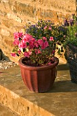 CERAMIC CONTAINER ON STEP PLANTED WITH AZALEA JAPONICA MADAME VAN HECKE