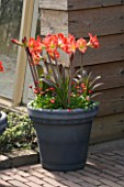 GREY TERRACOTTA CONTAINER PLANTED WITH AMARYLLIS BABY STAR AND BELLIS. KEUKENHOF GARDENS  NETHERLANDS