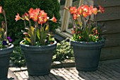 GREY TERRACOTTA CONTAINERS PLANTED WITH AMARYLLIS BABY STAR AND BELLIS. KEUKENHOF GARDENS  NETHERLANDS