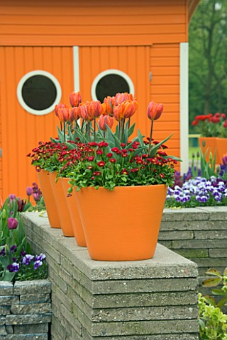 ORANGE_TERRACOTTA_CONTAINERS_ON_TOP_OF_A_WALL_PLANTED_WITH_RED_BELLIS_AND_TULIP_HERMITAGE_KEUKENHOF_