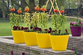 YELLOW TERRACOTTA CONTAINERS ON TOP OF A WALL PLANTED WITH FRITILLARIA IMPERIALIS (CROWN IMPERIALS). KEUKENHOF GARDENS  NETHERLANDS