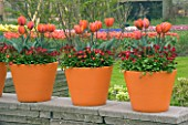 ORANGE TERRACOTTA CONTAINERS ON TOP OF A WALL PLANTED WITH RED BELLIS AND TULIP HERMITAGE. KEUKENHOF GARDENS  NETHERLANDS