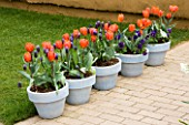 KEUKENHOF GARDENS  NETHERLANDS: BLUE PAINTED CONTAINERS PLANTED WITH TULIP HERMITAGE AND MUSCARI LATIFOLIUM. SPRING