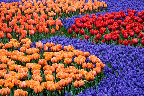 KEUKENHOF_GARDENS__NETHERLANDS_BED_WITH_TULIPS_ORANGE_PRINCESS__HERMITAGE__ARMA_AND_PRINSES_IRENE_WI