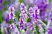 LAVANDULA ANGUSTIFOLIA PRINCESS BLUE