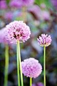 ALLIUM AFLATUNENSE. JANET CROPLEY GARDEN  HILL GROUNDS  NORTHAMPTONSHIRE. FLOWER  CLOSE UP  PINK