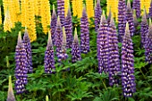YELLOW AND BLUE LUPINS