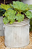 RE-CYCLED CONTAINER. DUSTBIN PLANTED WITH RHUBARB. DESIGNERS: CLAIRE WARNOCK AND RACHEL WATTS